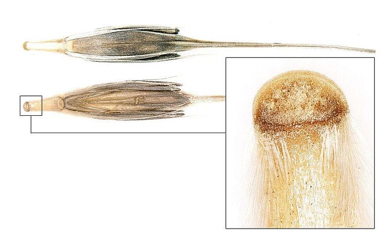 Wilde Vorfahren domestizierter Hülsenfrüchte