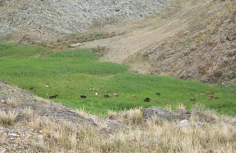 Viehherde in Zentralasien