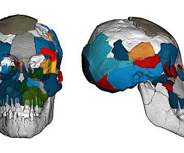 Drei Millionen Jahre alte Gehirnabdrücke in fossilen Schädeln der Art Australopithecus afarensis werfen ein neues Licht auf die Evolution des Gehirns