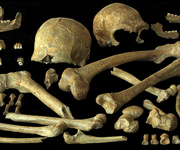 Neandertalerknochen aus Spy, Belgien