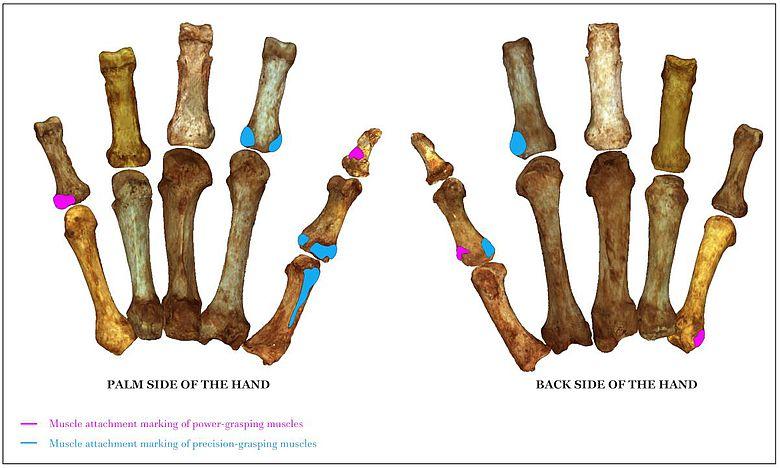 Muskelansatzmarken für Kraftgriffe (pink) und Präzisionsgriffe (blau)