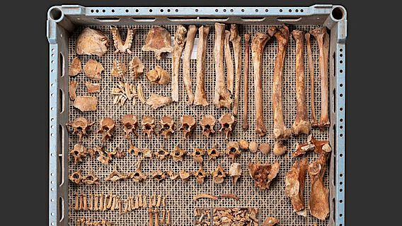 Das aus der Verfüllung der Latrine geborgene Skelett eines jungen Berberaffen