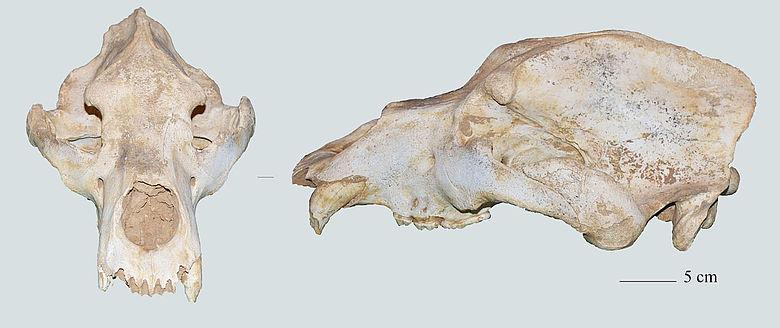 Spätpleistozäner Höhlenbärenschädel aus Italien