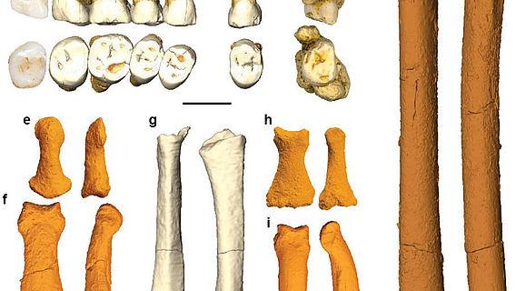 Fossile Überreste des Homo luzonensis