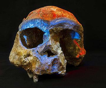 Homoe erectus Schädel aus Sangiran