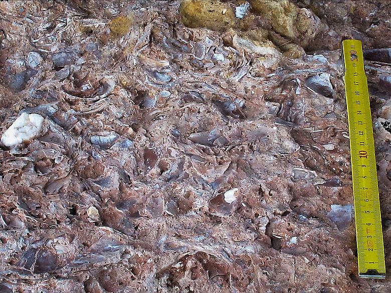 Muschelschalenbett