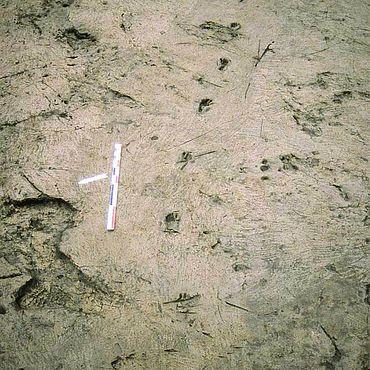 Abb. 2| Palma Campania. Menschen- und Tierspuren in einer Schwemmschicht zwischen den Ablagerungen des Vesuvausbruchs P4, ca. 2000 v. Chr. © Istituto Nazionale di Geofisica e Vulcanologia (INGV) Rom, A. Di Vito