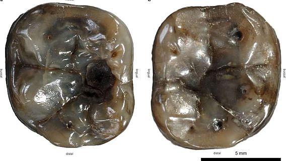 Die untersuchten Zähne des Dryopithecus carinthiacus