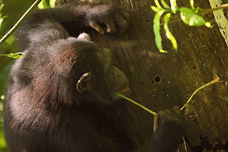 Schimpansen benutzen verschiedene Werkzeuge, scharfe Steinwerkzeuge gehören jedoch nicht dazu