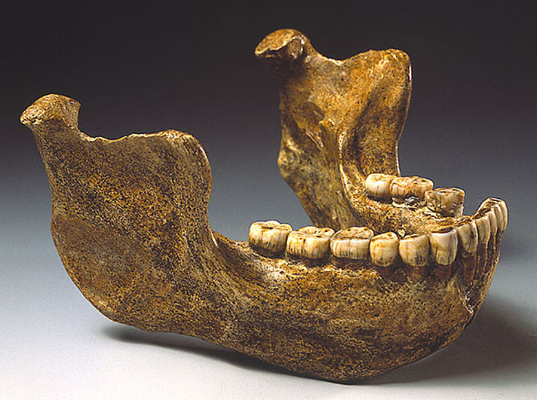 Unterkiefer eines Homo erectus