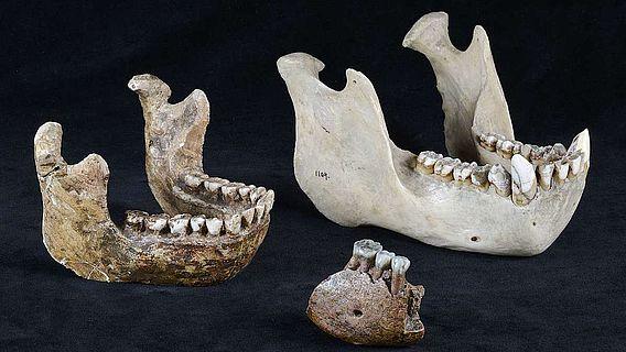 Vergleich Meganthropus-Unterkieferfragment mit Orang Utan-Kiefer und Homo erectus-Kieferrekonstruktion