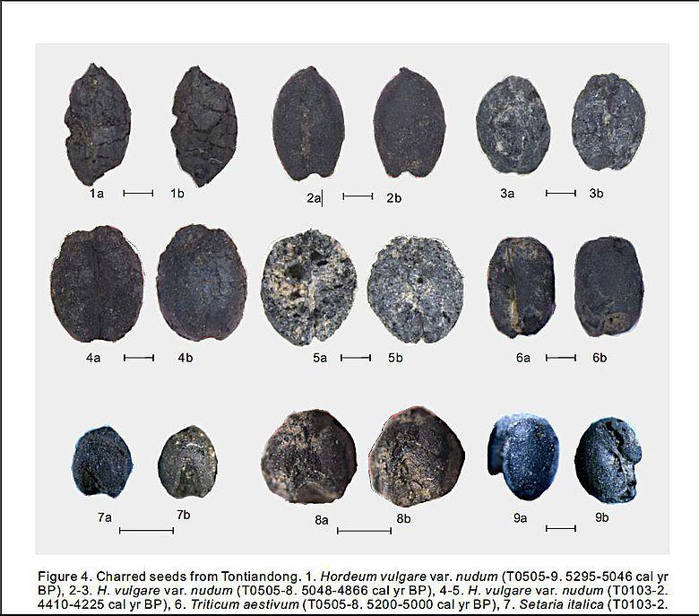 Verkohlte Samen aus der Tangtian-Höhle