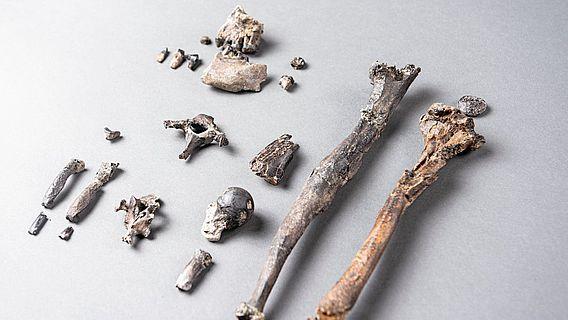Die 21 Knochen des am vollständigsten erhaltenen Teil-Skelettes eines männlichen Danuvius