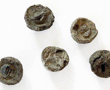 Abb. 7. Inkohlte Apfelhälften aus der Siedlungsschicht von See am Mondsee; Durchmesser der einzelnen Objekte rund 2,0 cm (Foto: Alexander Binsteiner)