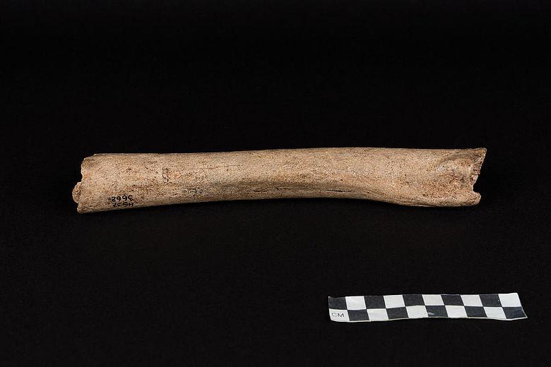 Neanderthaler-Knochen vom Hohlenstein-Stadel