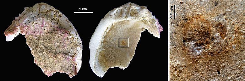 Muschelschale mit Farbresten