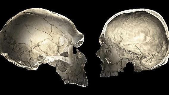 CT-Scans von Neandertaler und Homo sapiens sapiens