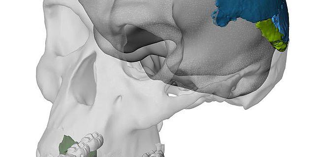 Rekonstruierter Schädel eines Homo habilis