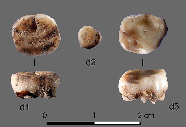 Die beiden 31.000 Jahre alten Milchzähne, die an der «Yana Rhinoceros Horn Site» in Russland gefunden wurden