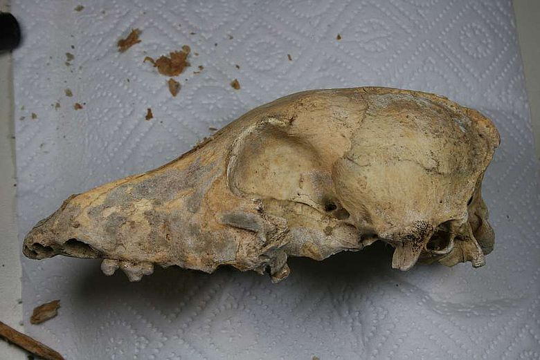Schädel des 4.700 Jahre alten neolithischen Hundes