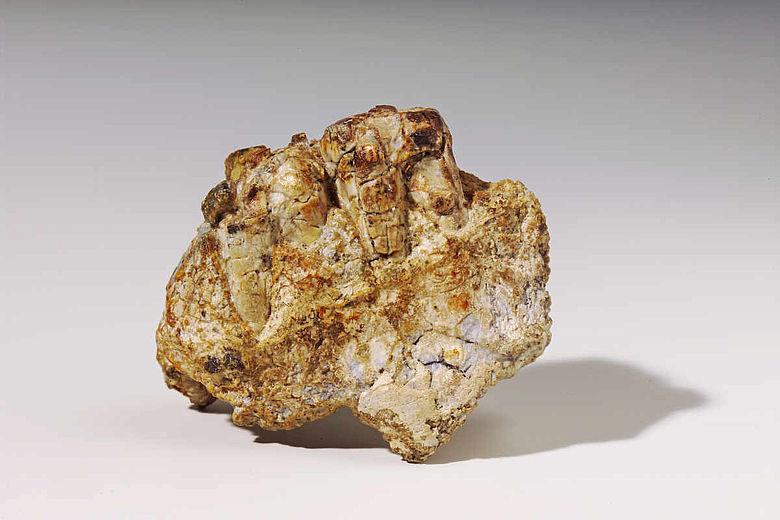 Zahnreste von Paranthropus bosei