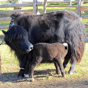 Viele Milchvieharten, darunter Kühe und Yaks, gelangten bereits in vorgeschichtlicher Zeit in die Mongolei