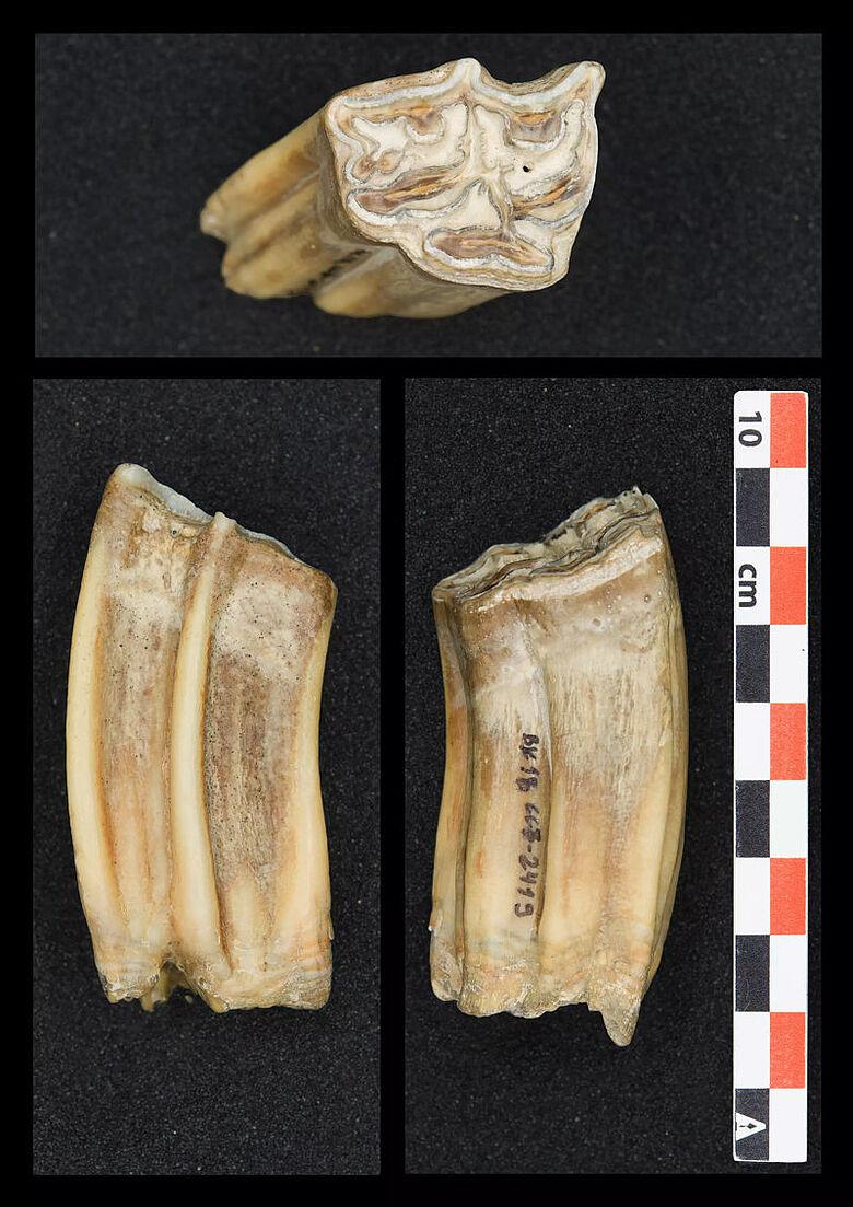 Pferdezahn aus der Bacho-Kiro-Höhle