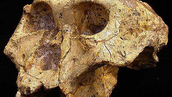 Schädel eines Paranthropus robustus aus der Swartkrans Höhle in Südafrika. (Foto: Darryl de Ruiter)