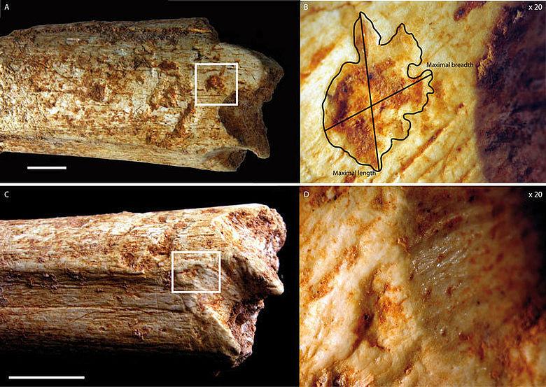 Bissspuren Homininenknochen Marokko