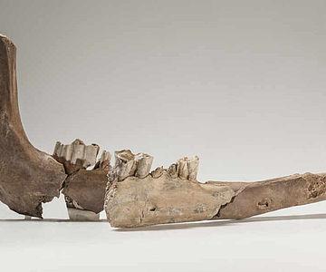 Unterkiefer eines Kamels aus Basel