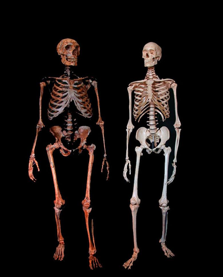 Vergleich: Skelett Neandertaler und Homo sapiens
