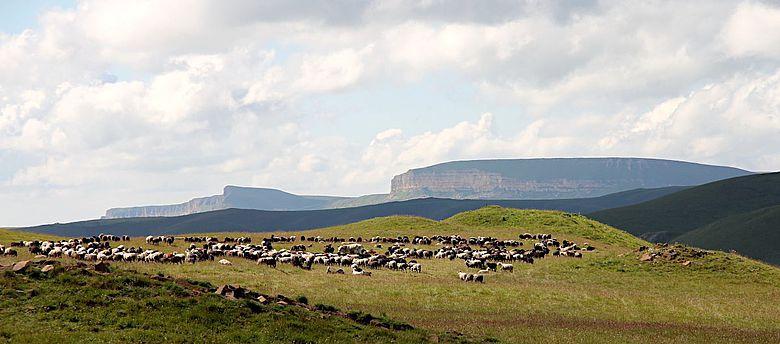 Grasende Tiere auf einer Gebirgsweide im Kaukasus