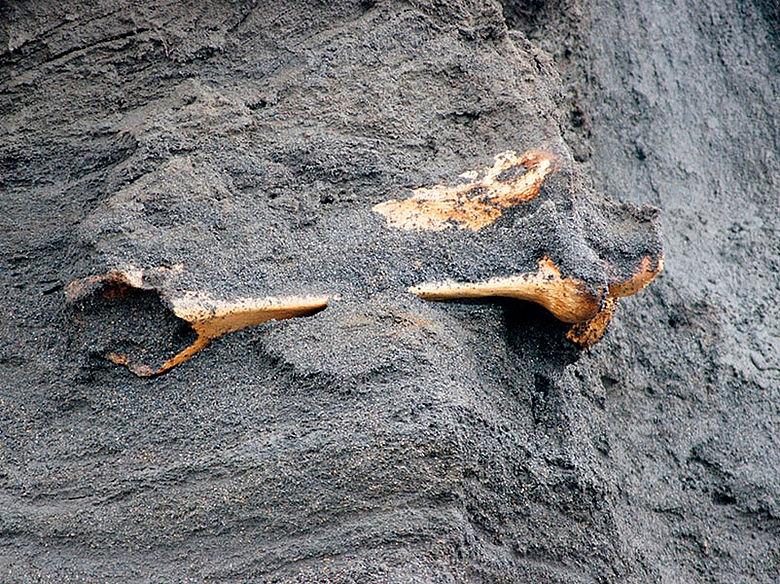 Mammutknochen