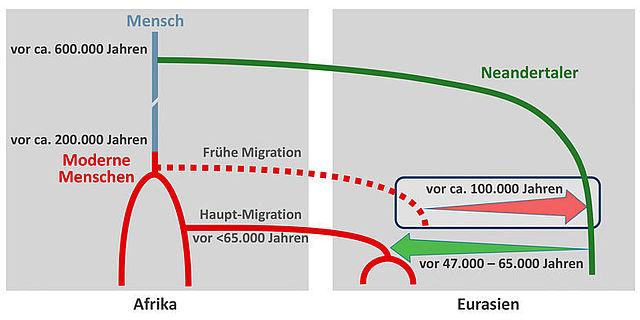 Grafik: Genfluss vom modernen Menschen zum Neanderthaler