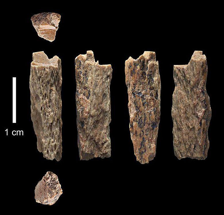 Knochenfragment Neandertaler/Denisova