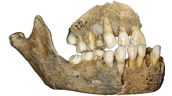 Kieferknochen eines Neanderthalermädchens