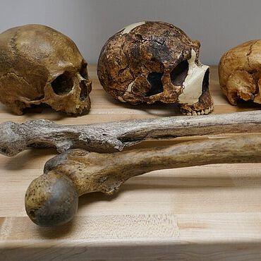 Die Studie verglich Größendaten von mehr als 300 Fossilien der Gattung Homo über einen Zeitraum von einer Million Jahre