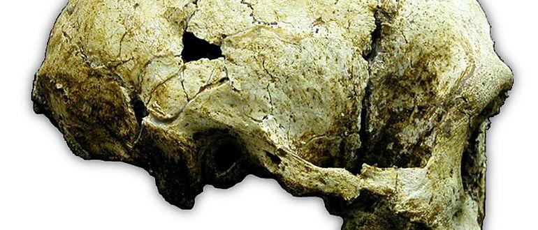 Homo floresiensis Schädel LB1