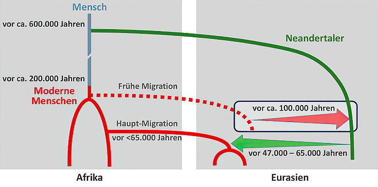 Diagramm: Genfluss Neandertaler - Homo sapiens