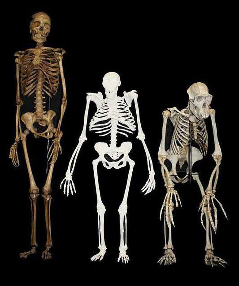 Australopithecus sediba im Vergleich zu einem Skelett einer kleinen weiblichen Person des Homo sapiens (links) und eines männlichen Schimpansen (rechts) (Abb.: Lee Berger; University of Witwatersrand)
