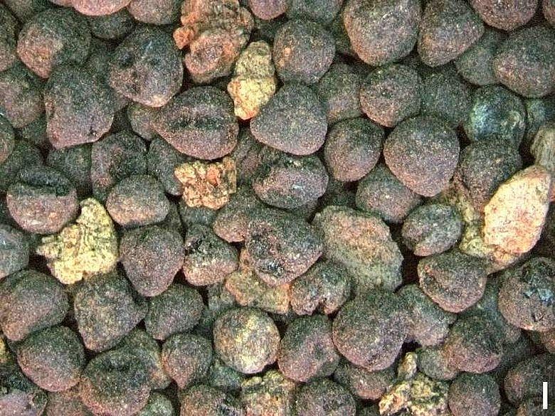 Linsenwicke (Vicia ervilia)