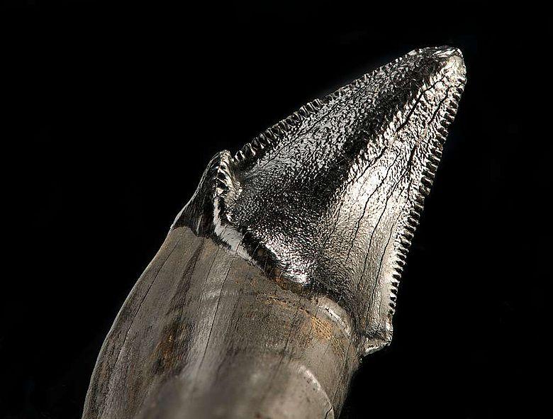 Detailaufnahme eines Zahns der Säbelzahnkatze