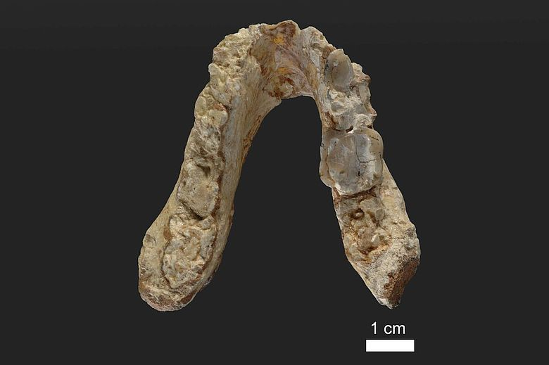 Unterkiefer des 7,175 Millionen Jahre alten Graecopithecus freybergi