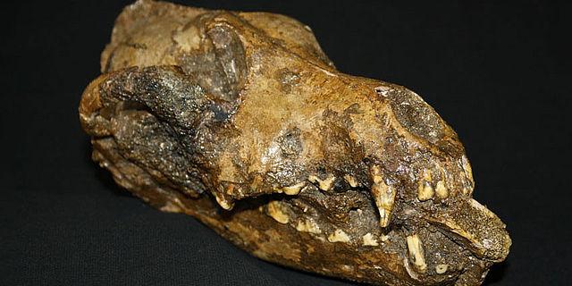 Schädel eines steinzeitlichen Hundes