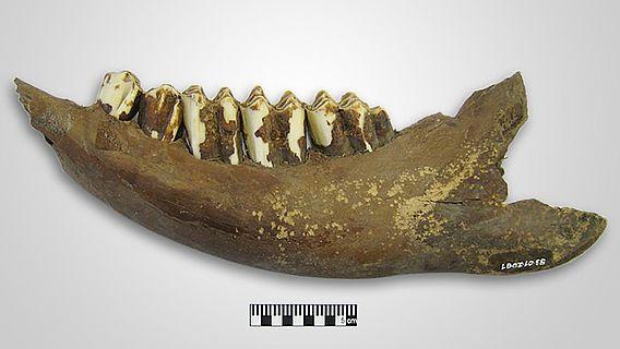 5400 Jahre alter Rinderunterkiefer