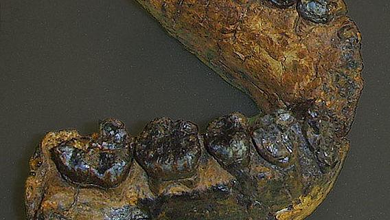 Unterkiefer eines Homo rudolfensis