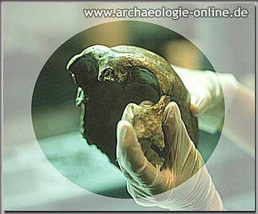 Das neue Fundstück des Neandertalerschädels.