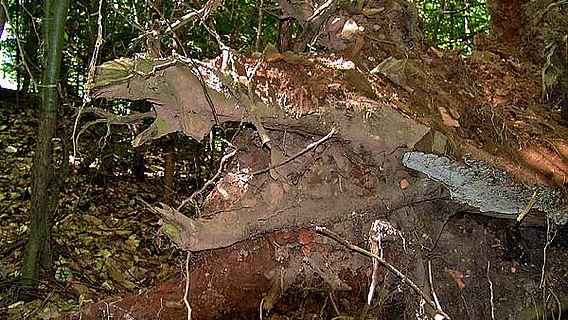 Ein entwurzelter Baum in der Ziegelroith. Der gesamte Wurzelballen ist voll von angeblichen Ziegelteilen (Bildnachweis: Christian Keller)