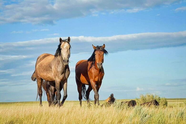 Pferde in eurasischer Steppe