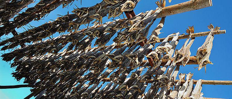 Stockfisch auf den Lofoten